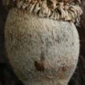 Lithocarpus densiflorus: Tanoak