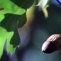 Quercus kelloggii: Black Oak