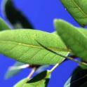 Quercus parvula: Shreve Oak