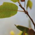 Quercus wislizeni: Interior Live Oak