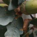 Quercus douglasii: Blue Oak